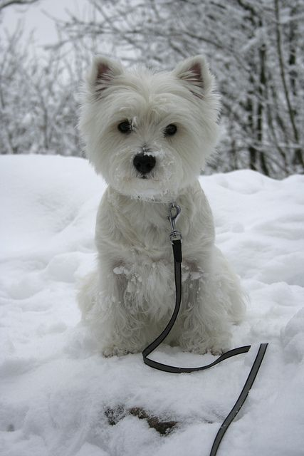 guide to owning a west highland terrier
